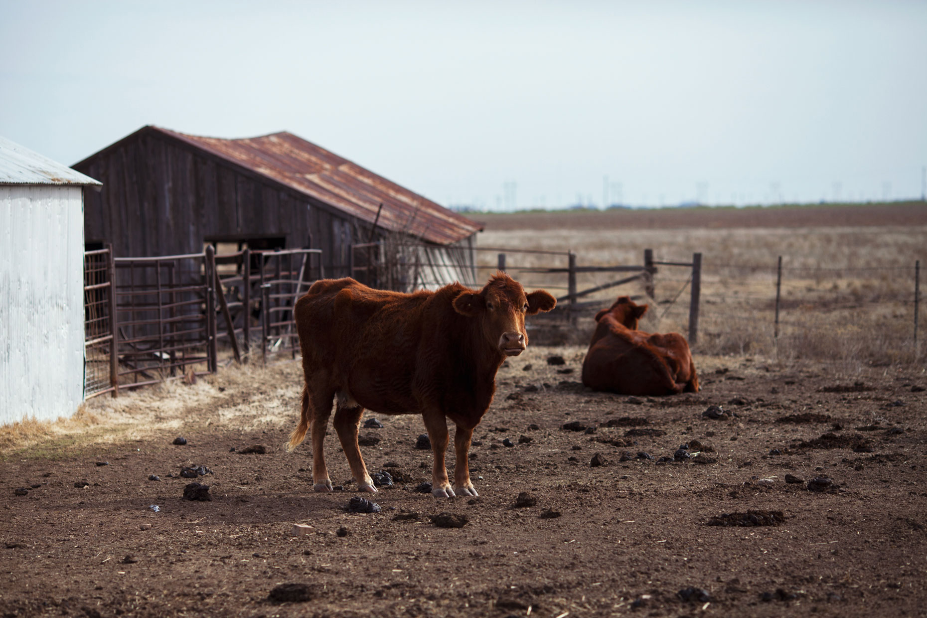 Cows at a ranch in the Texas Panhandle