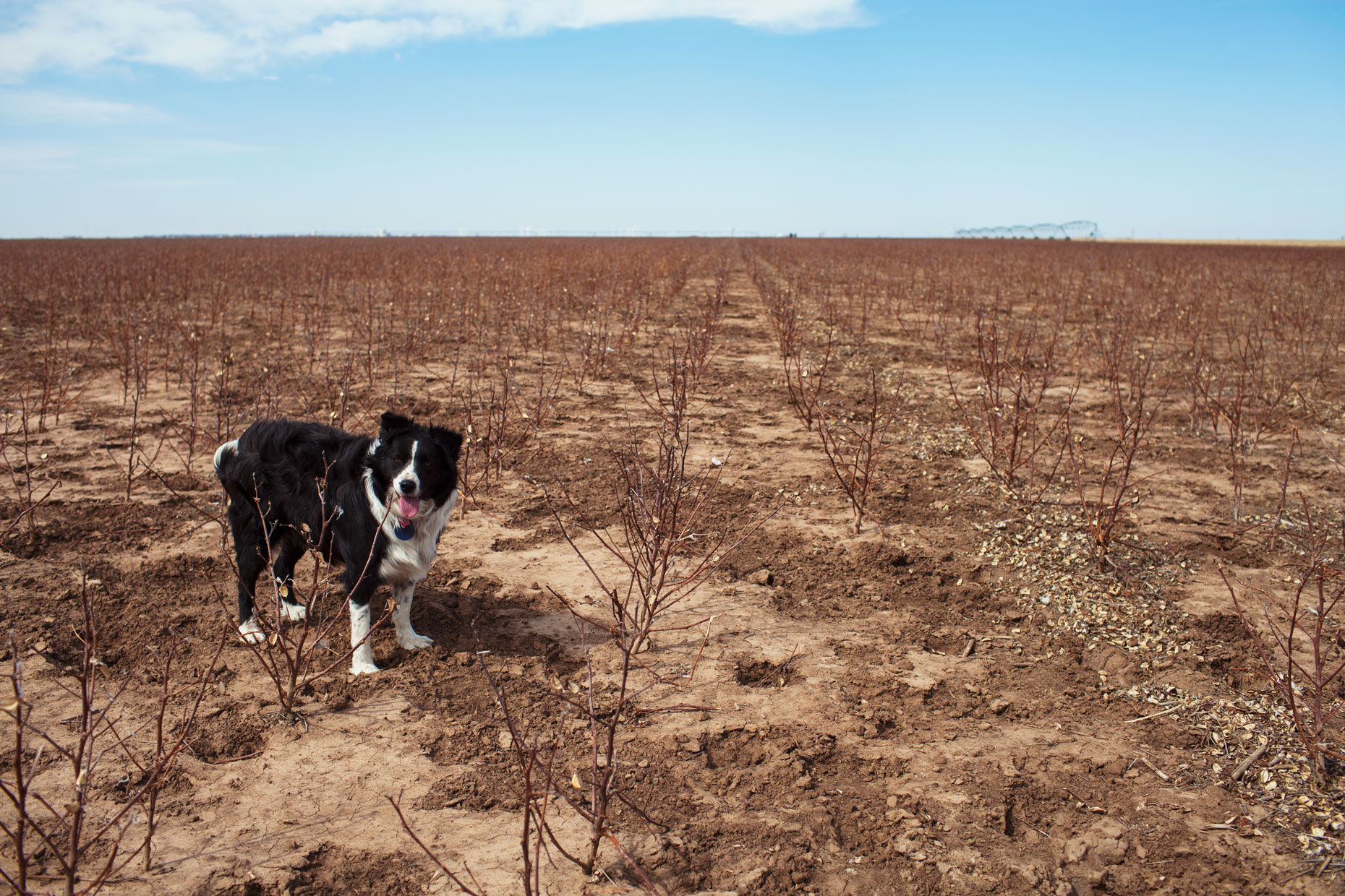 Cattle dog in a cotton field in the Texas Panhandle